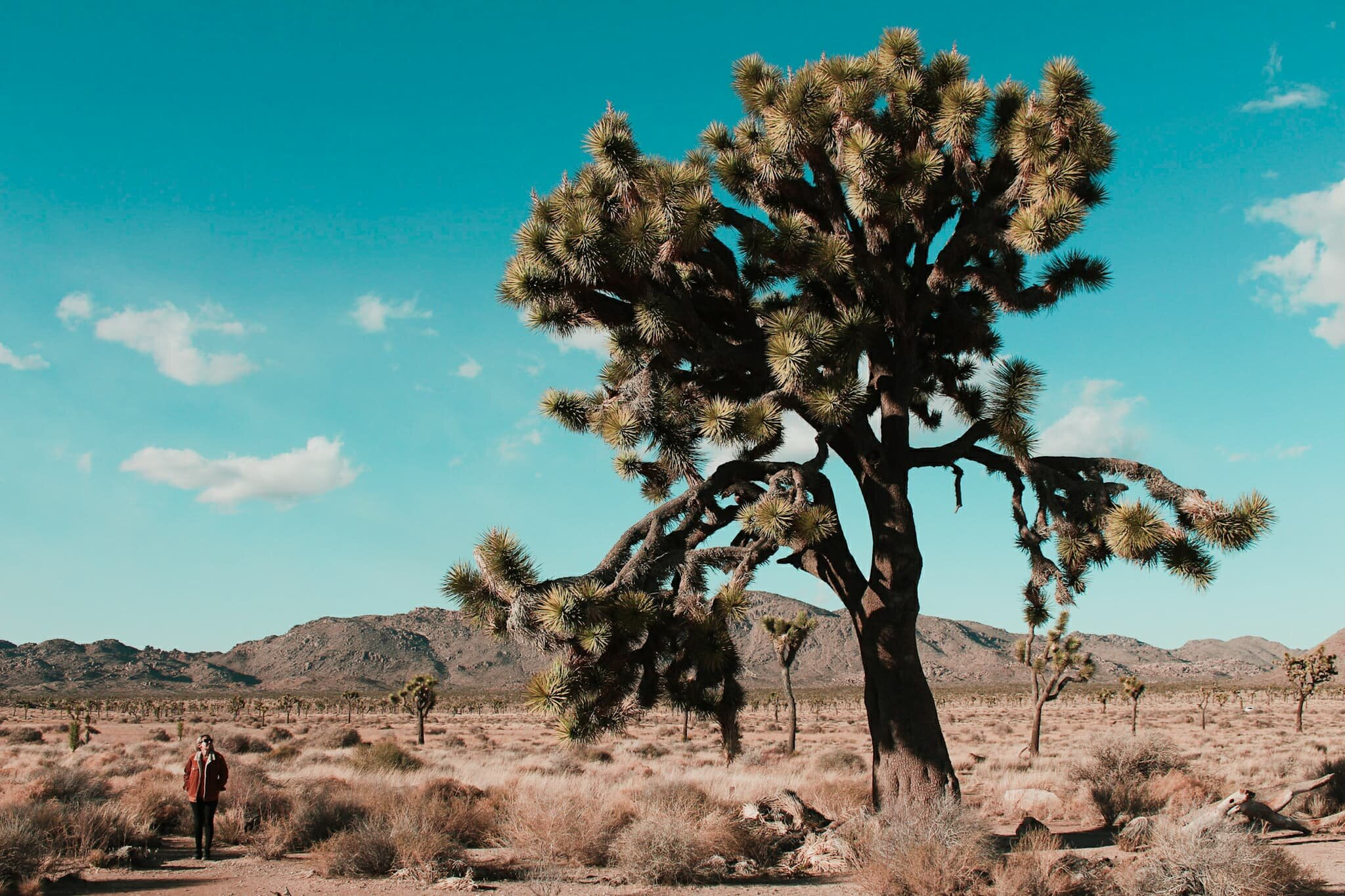 Joshua Tree National Park - This Joshua Tree National Park road trip will show you how to see the park's highlight's in one day.