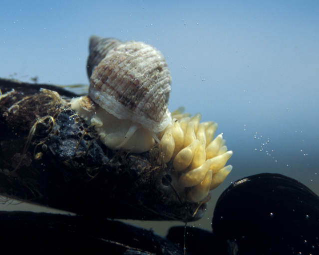 Channeled Dogwhelk ( Nucella canaliculata ) with egg capsules. Photo: Eric Sanford.