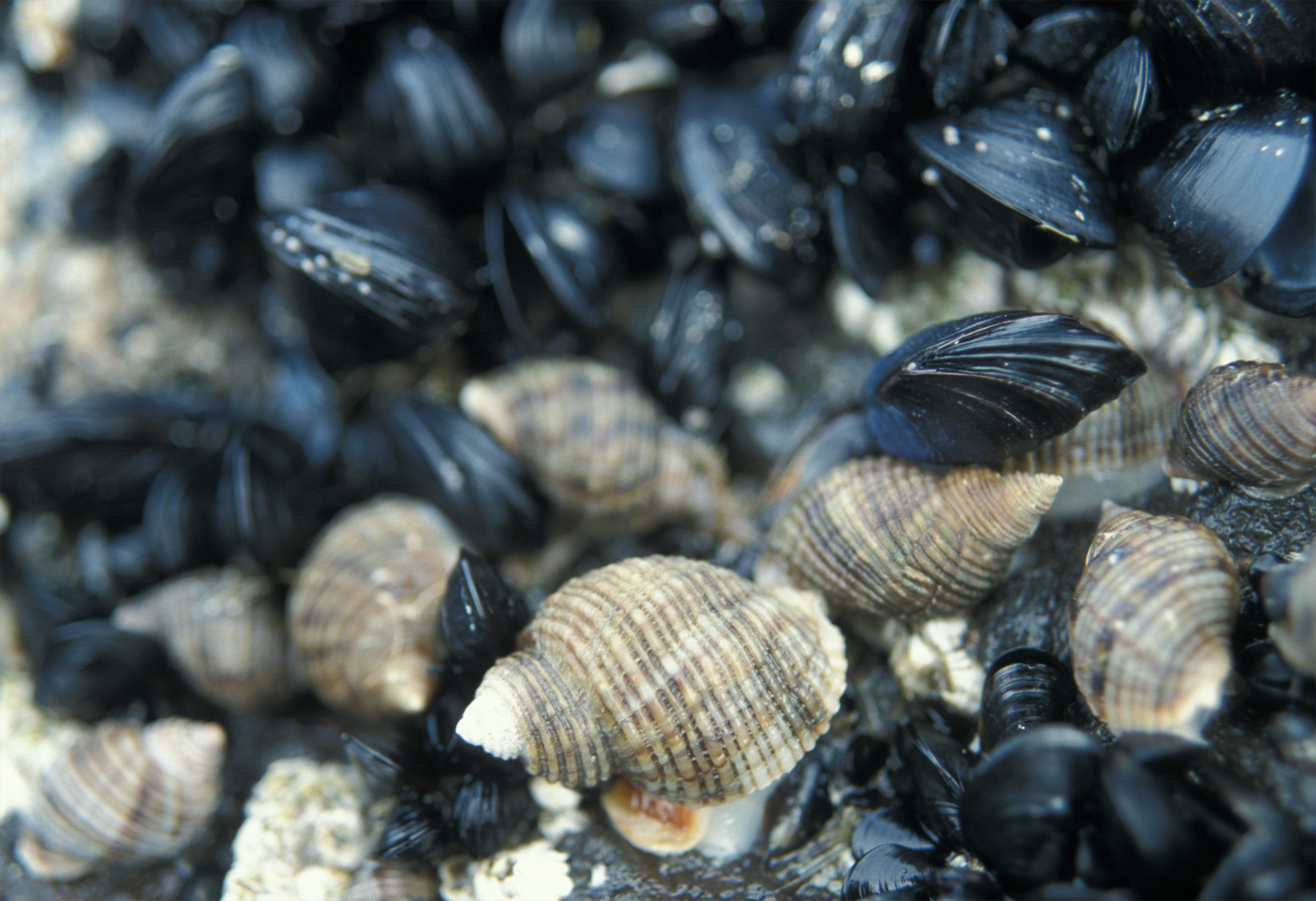 Are community dynamics influenced by natural selection on the traits of drilling snails ( Nucella canaliculata )? Photo: Eric Sanford.