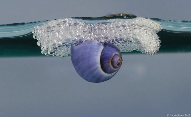 Purple Sea Snail ( Janthina umbilicata ) washed ashore in Bodega Bay in January 2016.