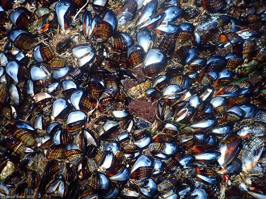 mussel_mortality1_sones_jun2019.jpg