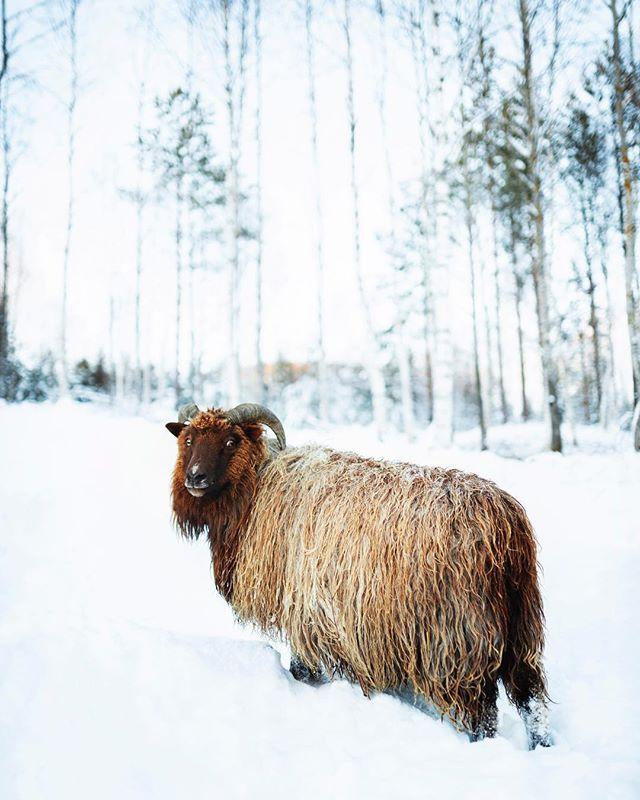 Meet this big fella from Svene! He's a watcher😂 —————————————— Do you like sheep's?  #sheep #sheeps #naturephotography #svene #norway #kongsberg #animalovers #animals #theearthoutdoors #theoutdoorfolk #visitnorway #awesome_earth