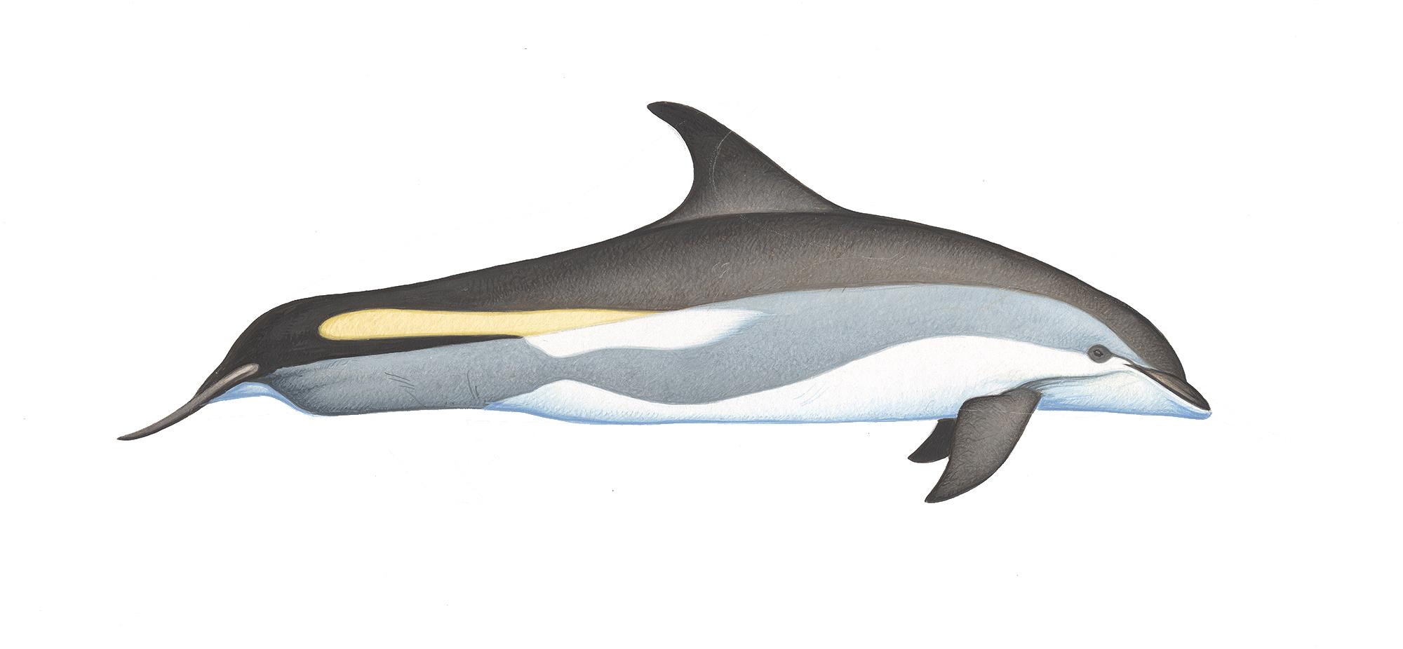 Atlantic white-sided dolphin.jpg