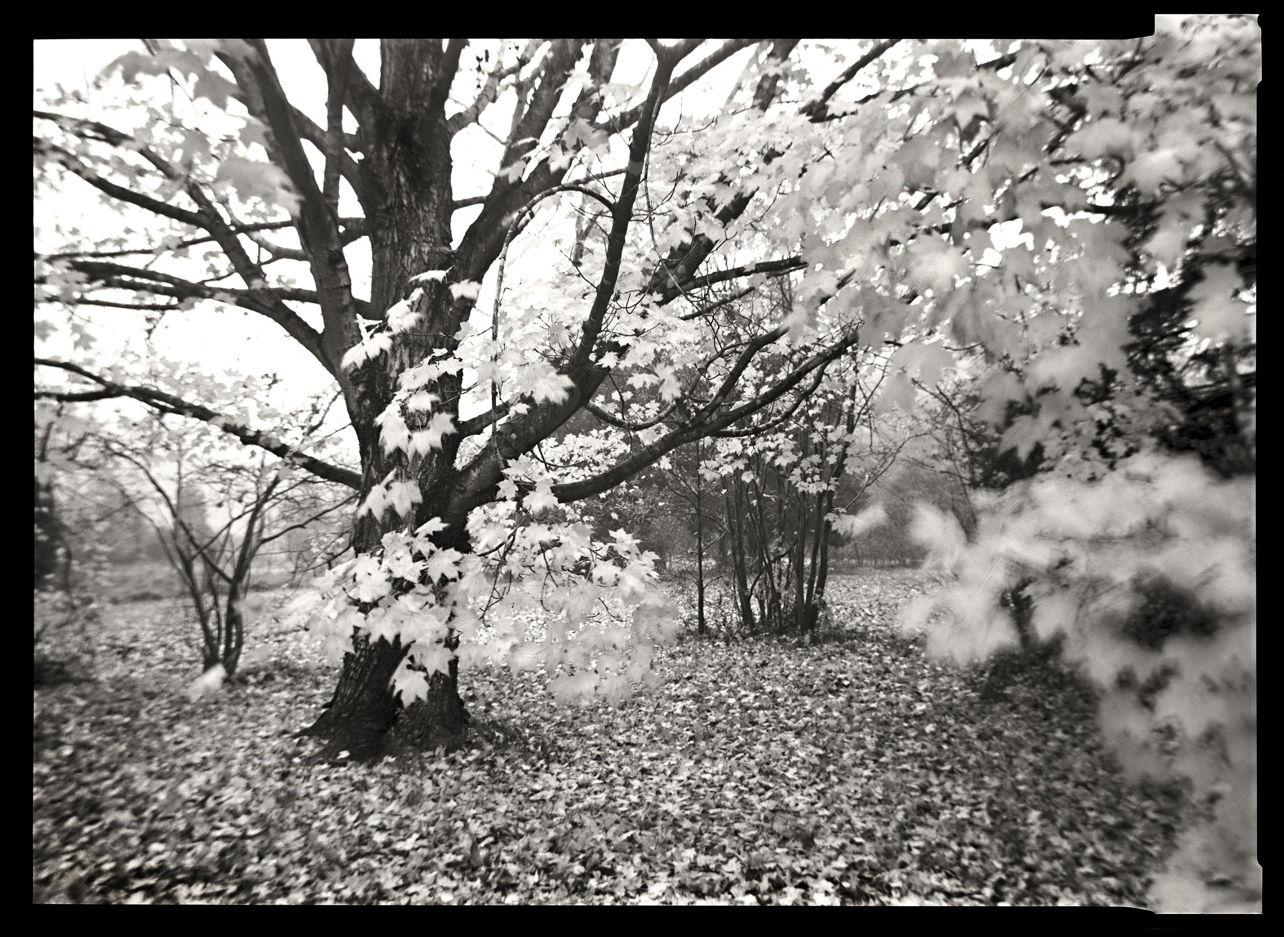 Maple Tree, 2007