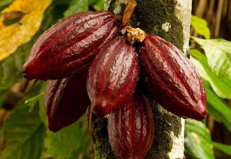 Aduna_Super-Cacao_Pod_tree-3.jpg
