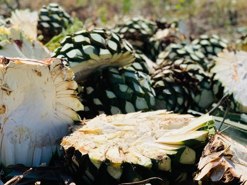 agave & harvesting - The agaves grow at a higher elevation in a mineral rich volcanic soil. Due to the availability of ample sunlight and the natural properties of the soil, the agaves are rich in sugars and has more viscosity and body weight. This leads to a smoother, premium quality tequila with more tropical flavors and fruit essence.