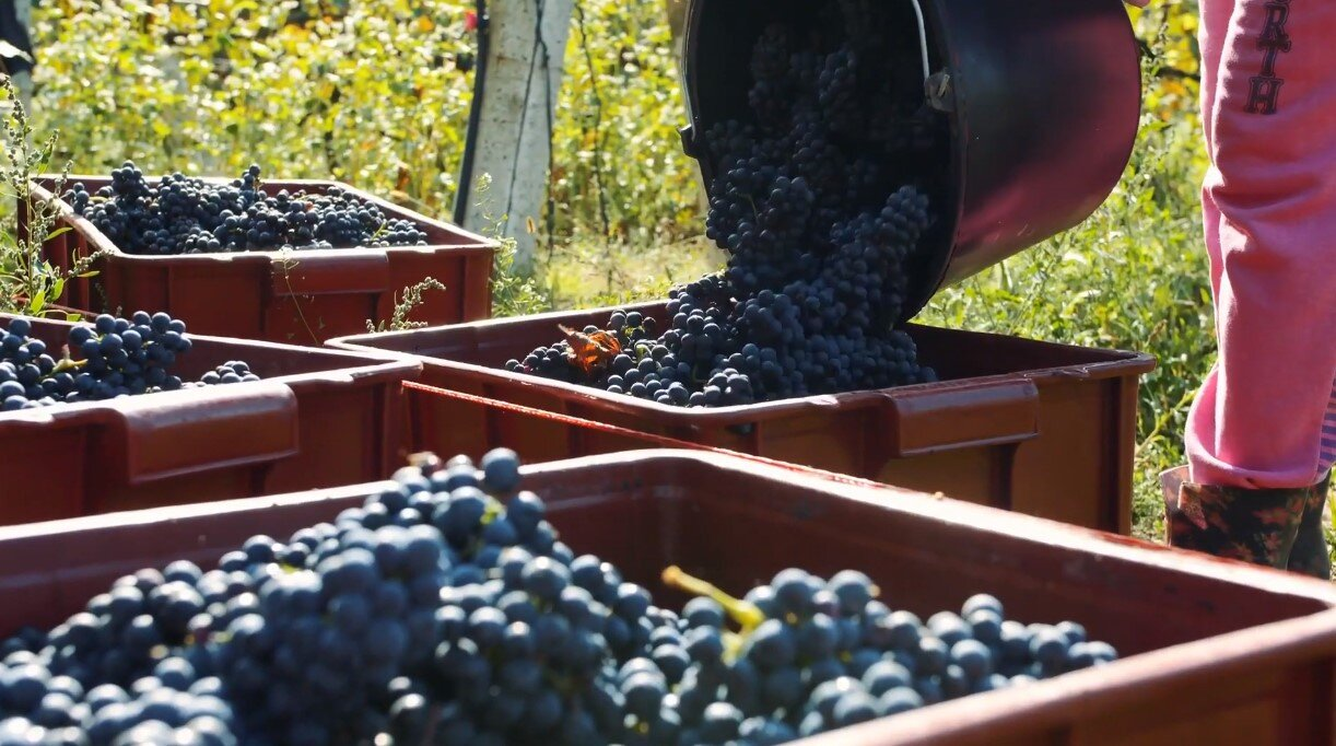 Syrah grapes picked in Montes estate in Apalta, Colchagua Valley, Chile. They are used to produce the outstanding 2011 Montes Folly Syrah that was our first Chilean IBO and is listed on our exchange