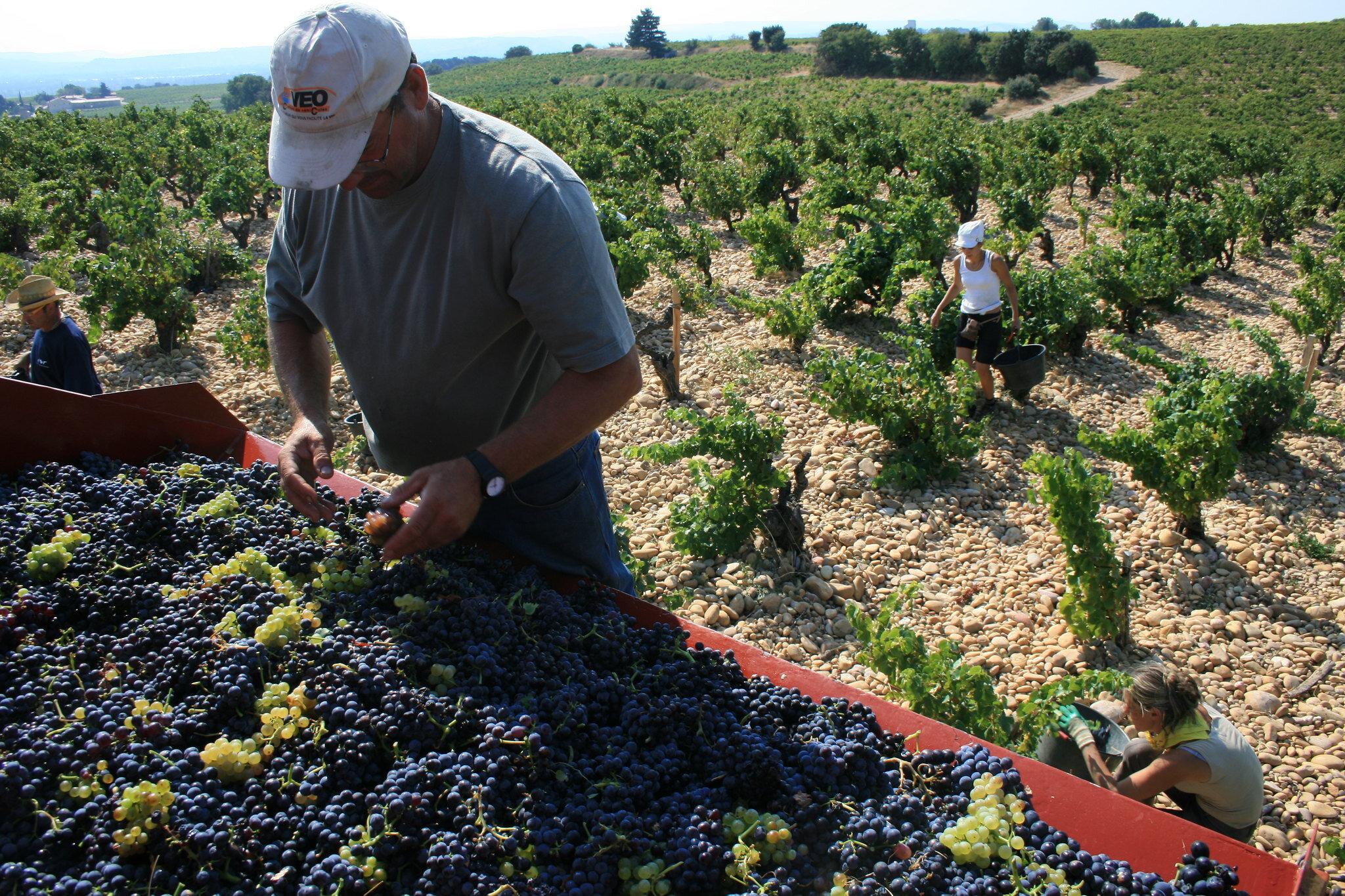 Grape picking at Domaine Roger Sabon, Châteauneuf-du-Pape (photo: Jean-Louis Zimmermann/Flickr)