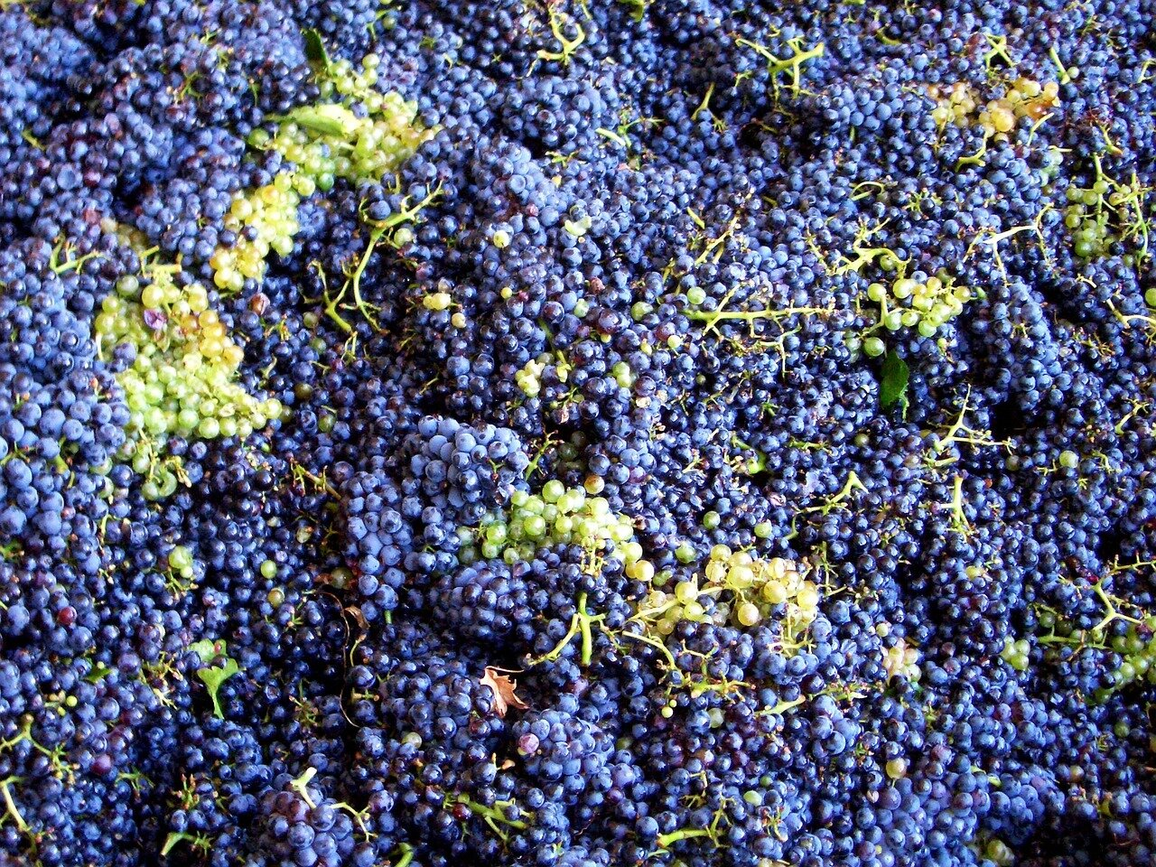 red and white picked grapes.jpg