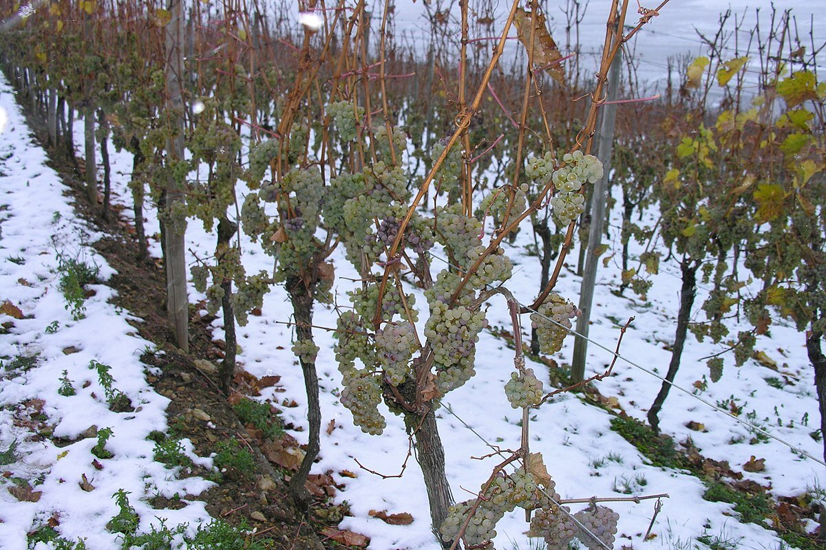 1200px-Frozen_grapes_in_Luxembourg.jpg