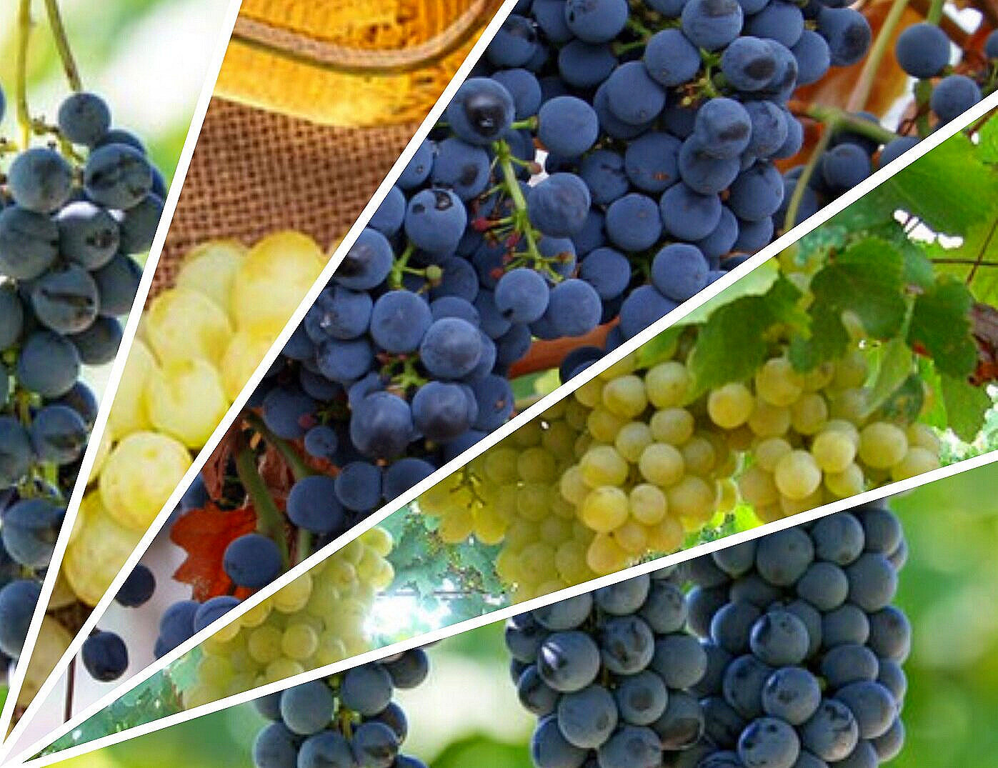 Carménère and other grapes saved from extinction to produce world-class wines