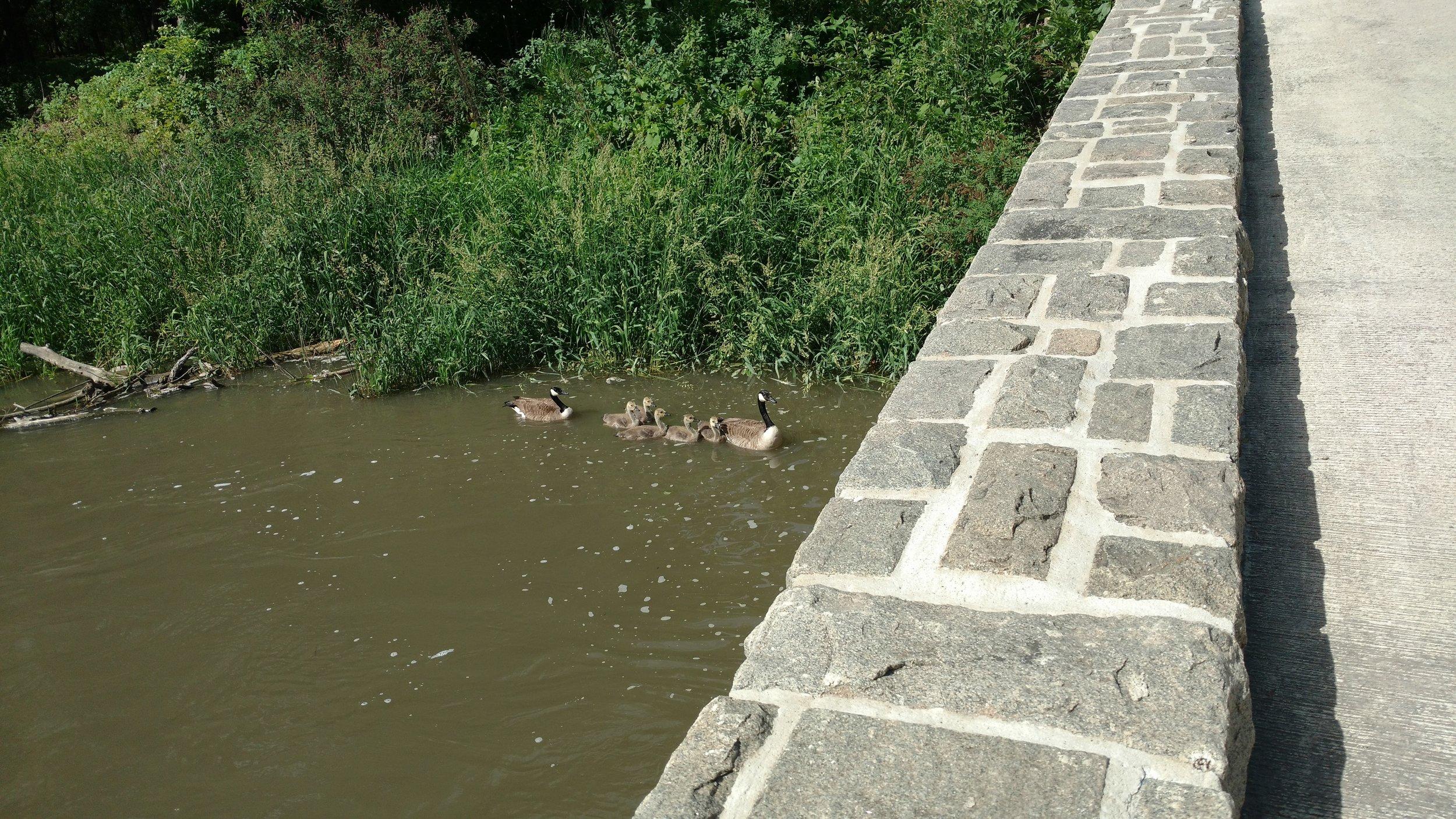Geese in Ramsey Park.jpg
