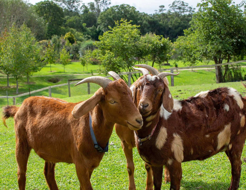 Garden of Light Tour, Tyalgum, Goats