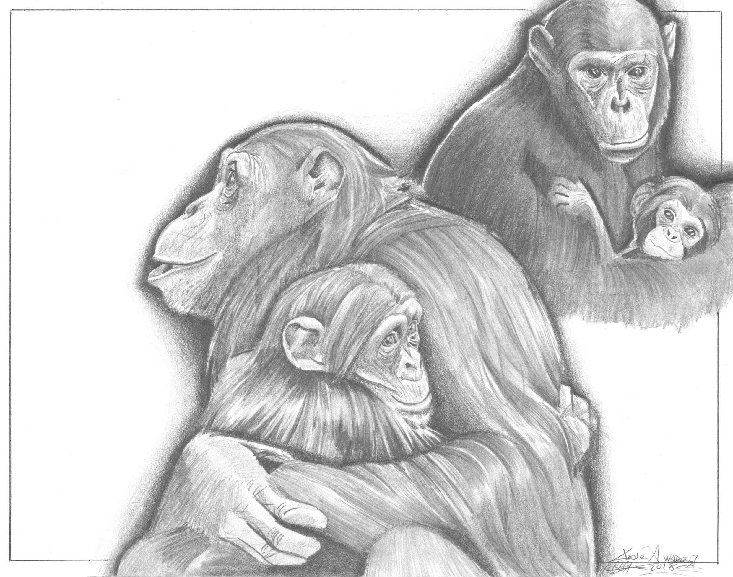 kyles_chimpanzeesforJane.jpg