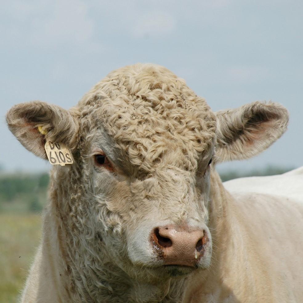 Herd Sires -