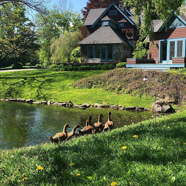 Brand new to the pond and already in formation . . . #stonoverfarm #barnwedding #berkshirewedding #berkshire #lenox #weepingwillow #bedandbreakfast #duck #luxurybedandbreakfast