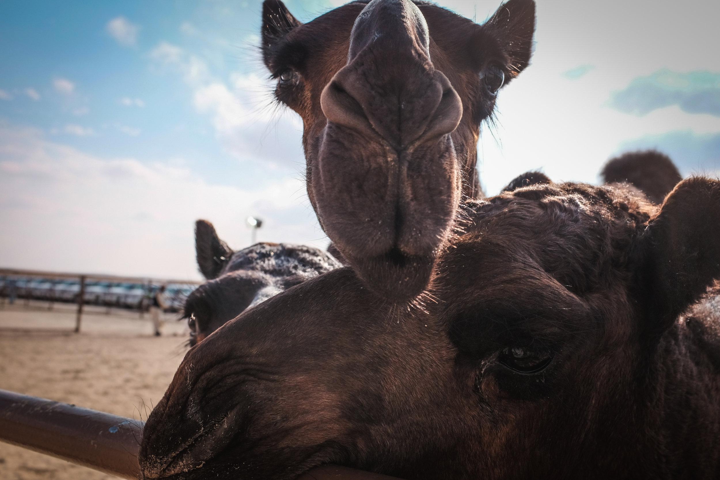 camels emirates