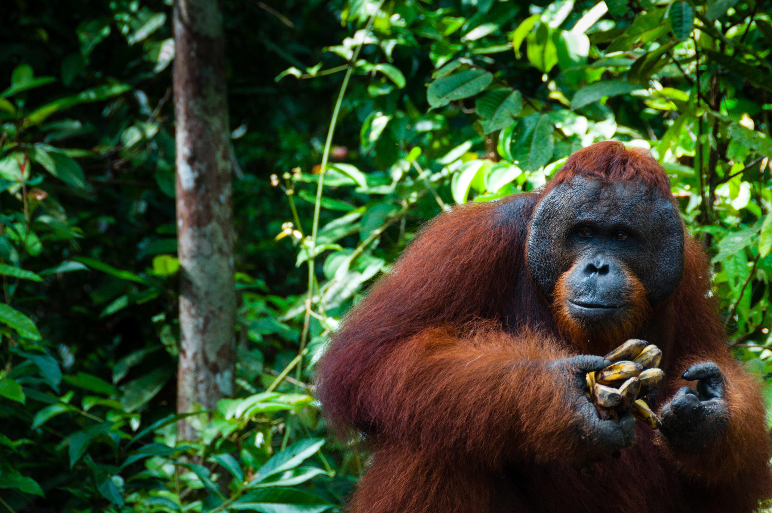 Bornean Orangutan Globe + Tribe