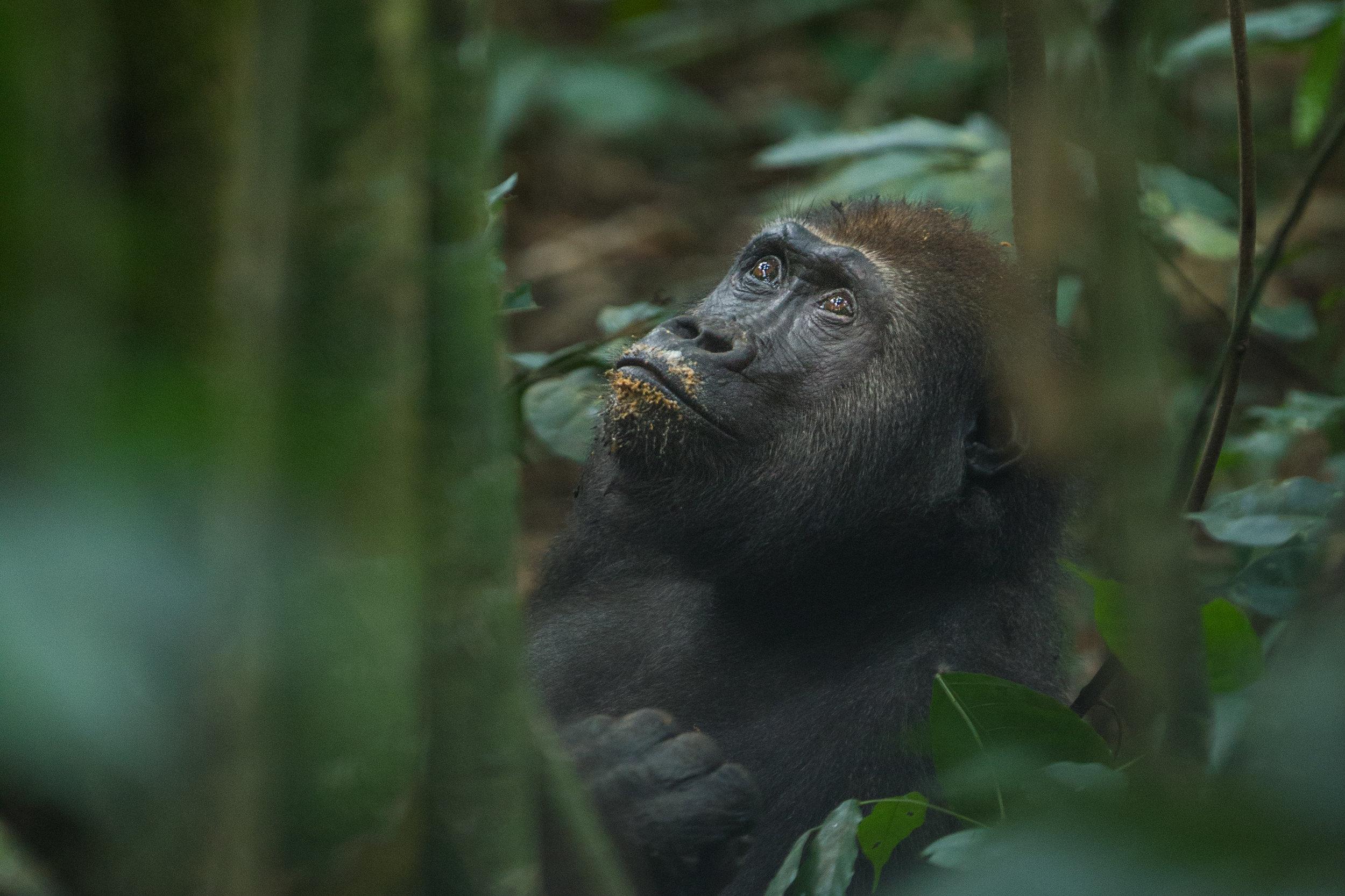 Eastern Lowland Gorilla Globe And Tribe