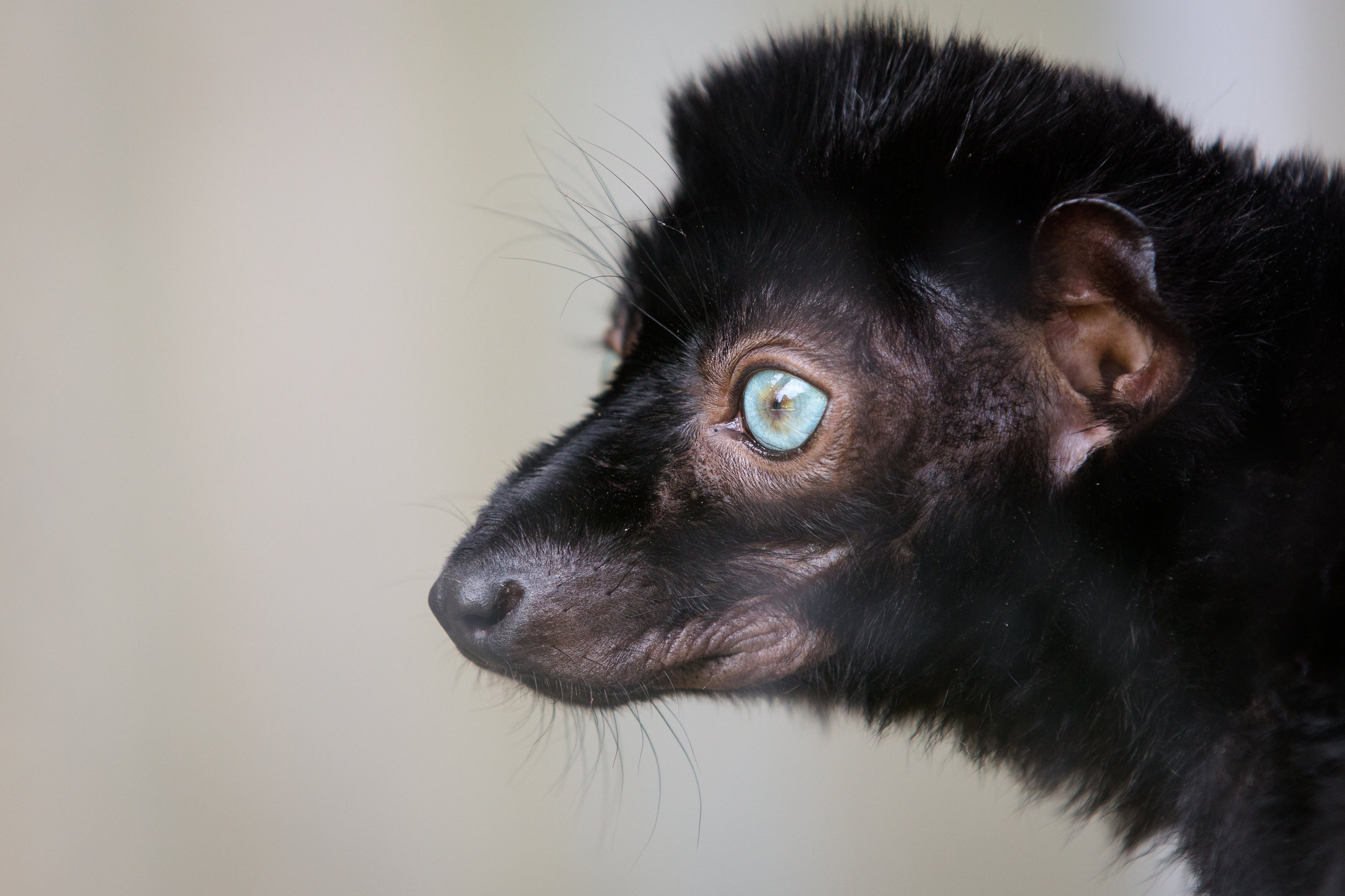 Blue-Eyed Black Lemur or NorthWestern Madagascar