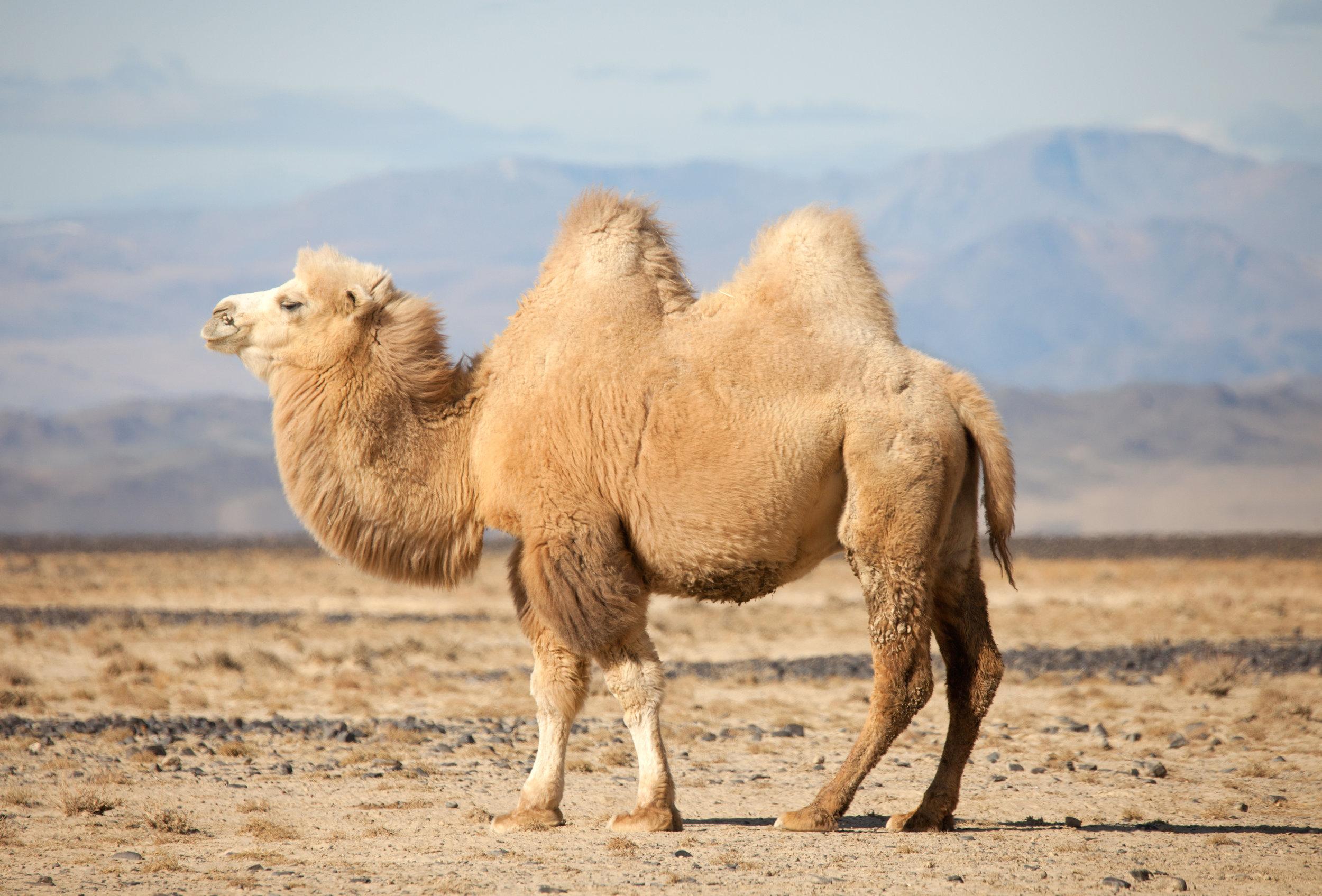 Camel Mongolia.jpeg