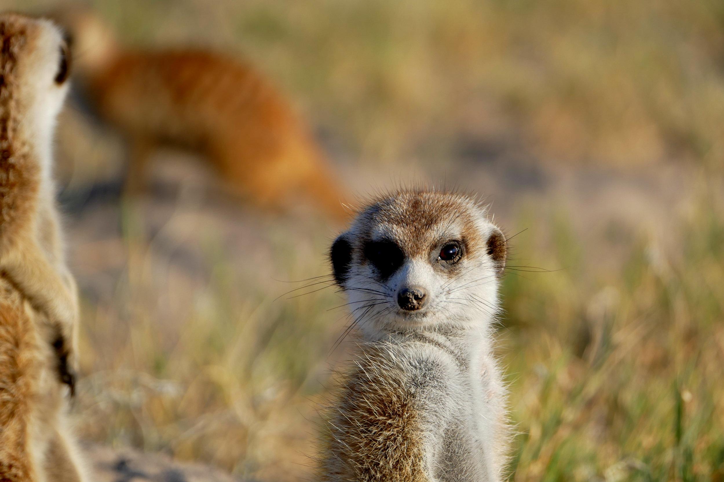 <p><strong>Botswana</strong>Central Kalahari Game Reserve & Meerkat Love.<i></i></p>
