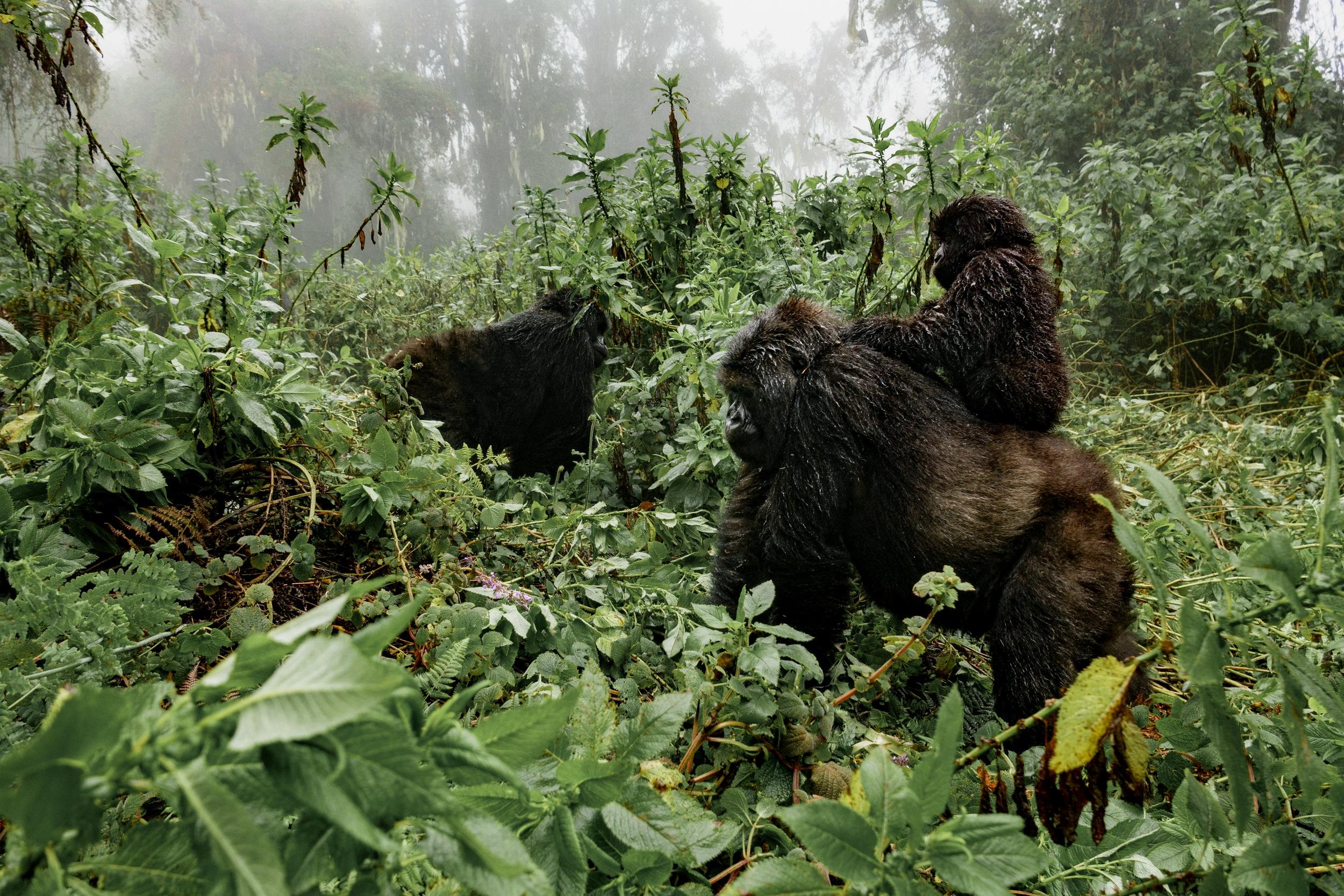 <p><strong>Uganda</strong>Gorilla Trekking in Bwindi Impenetrable Forest.<i></i></p>
