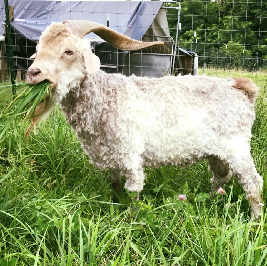 goat3circle.png