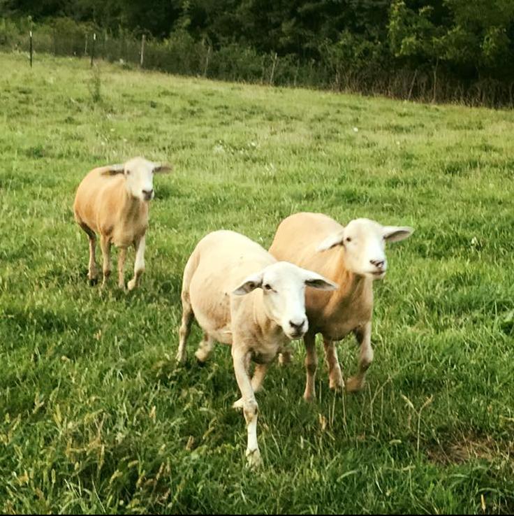 sheep1circle.png