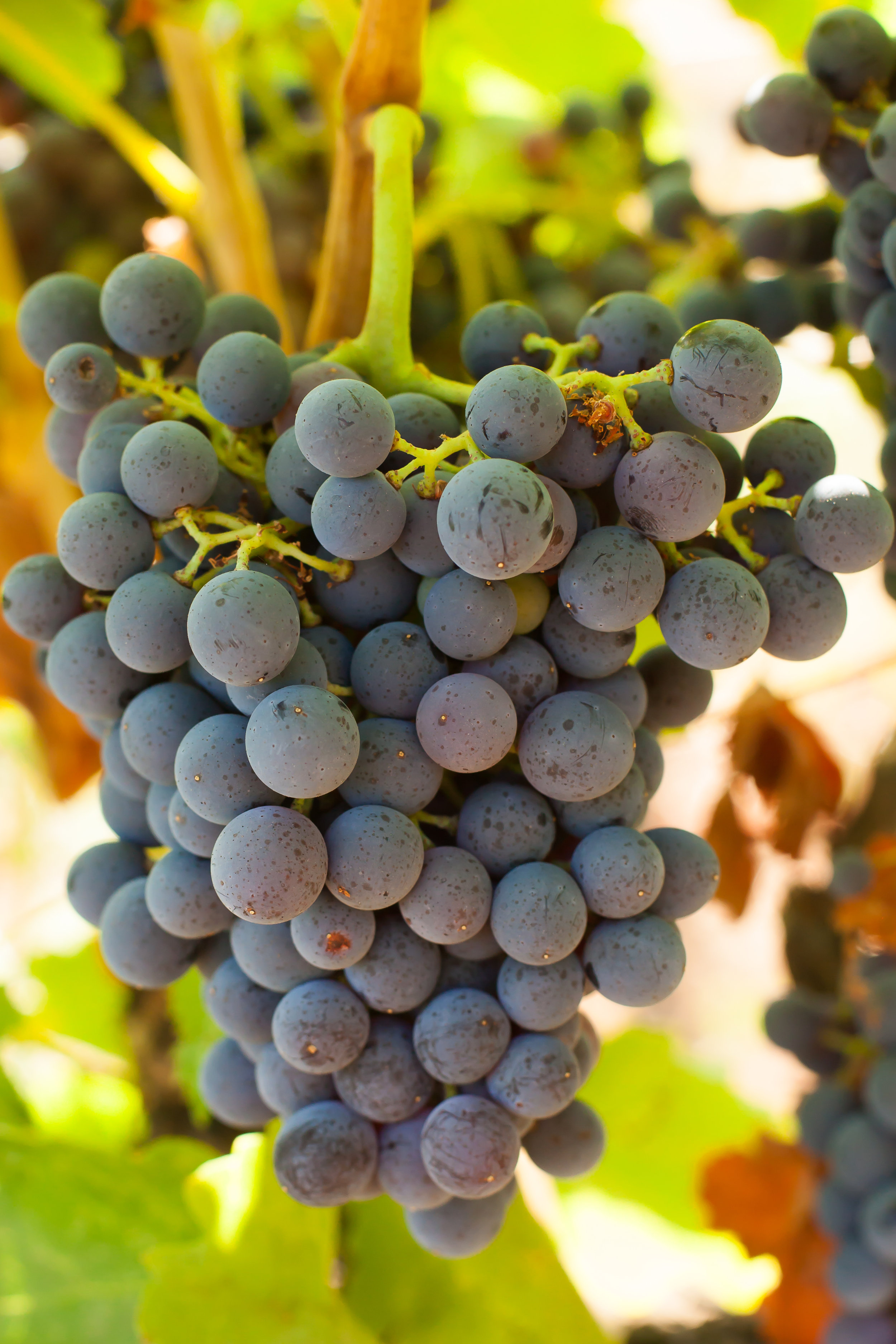 Grenache - Budwood: Available2019 Grapes available: 5 tons CCOF Certified