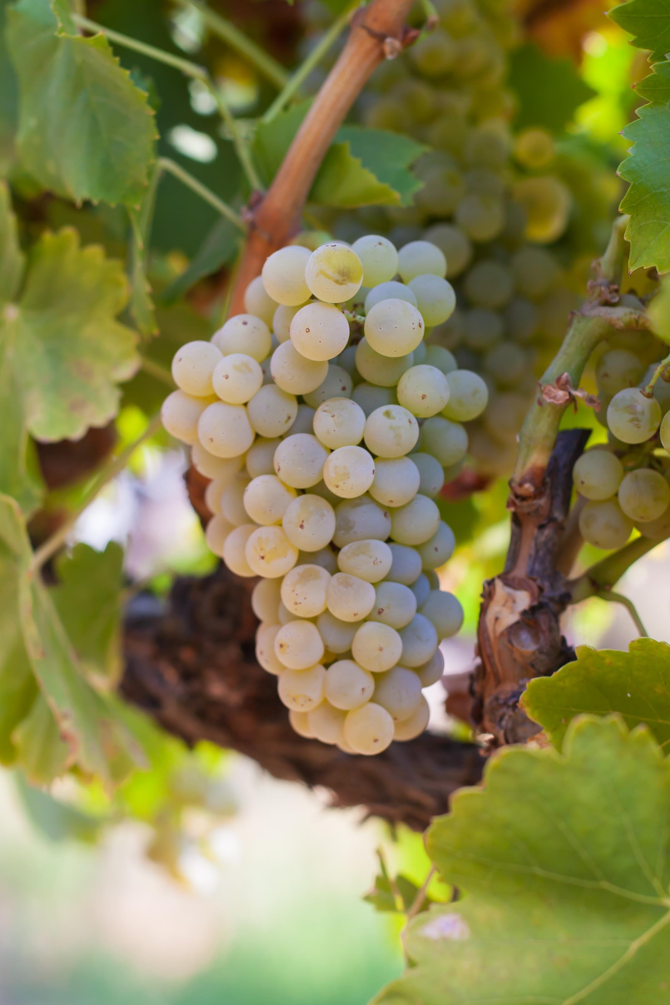 Grenache Blanc - Budwood: Available