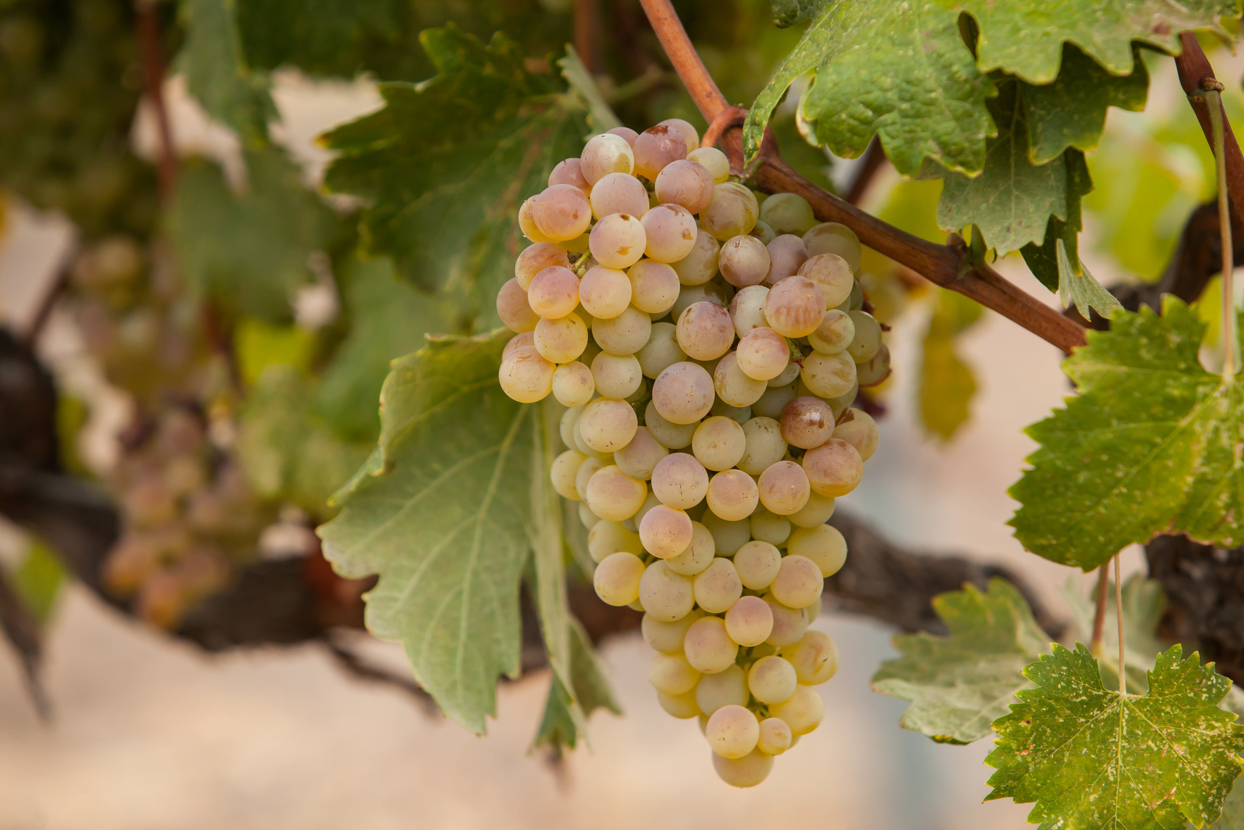 Vermentino - Budwood: Available2019 Grapes available: 3 tons Certified Sustainable