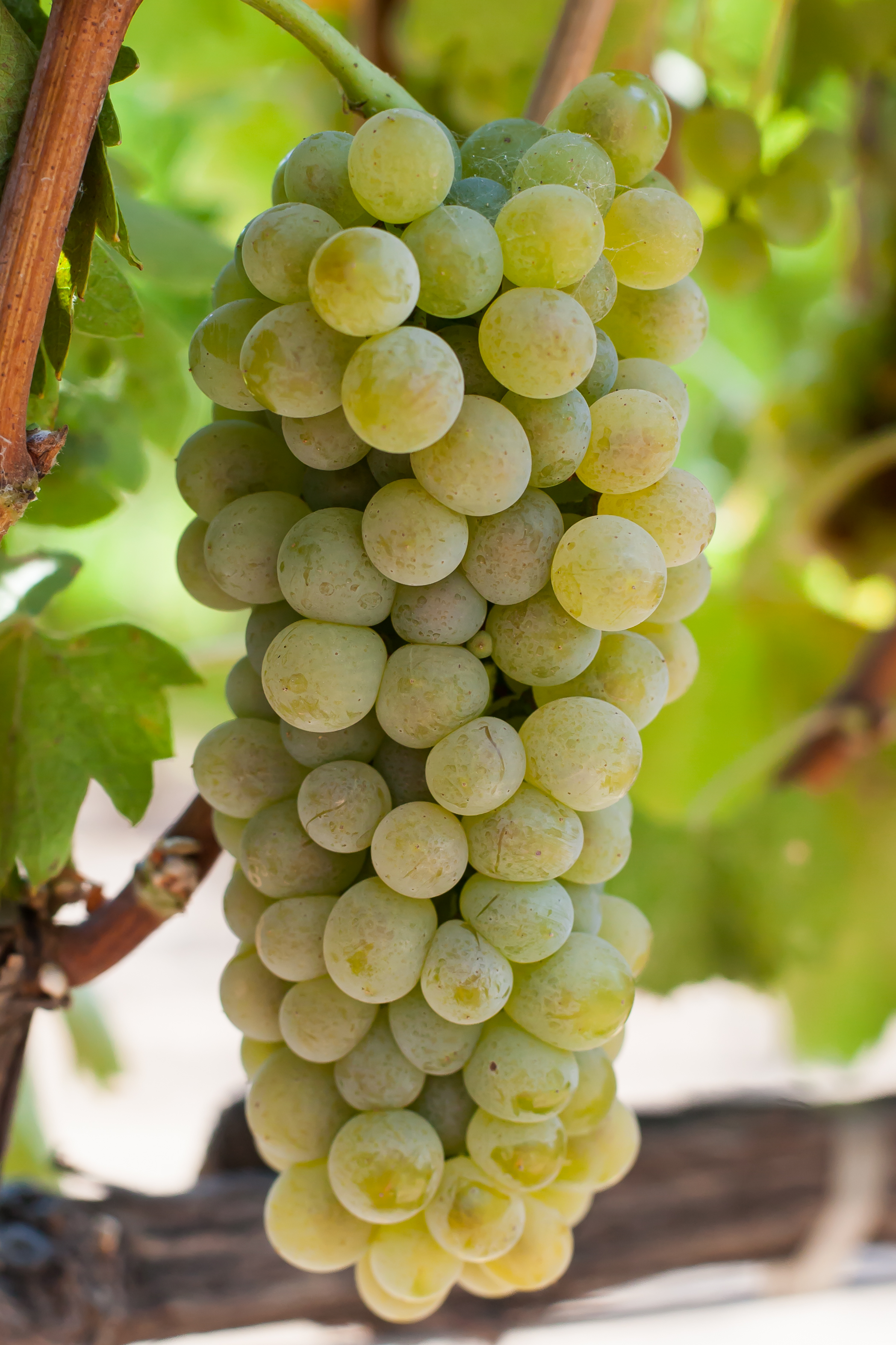 Viognier - Budwood: Available2019 Grapes available: 6 tons Certified Sustainable