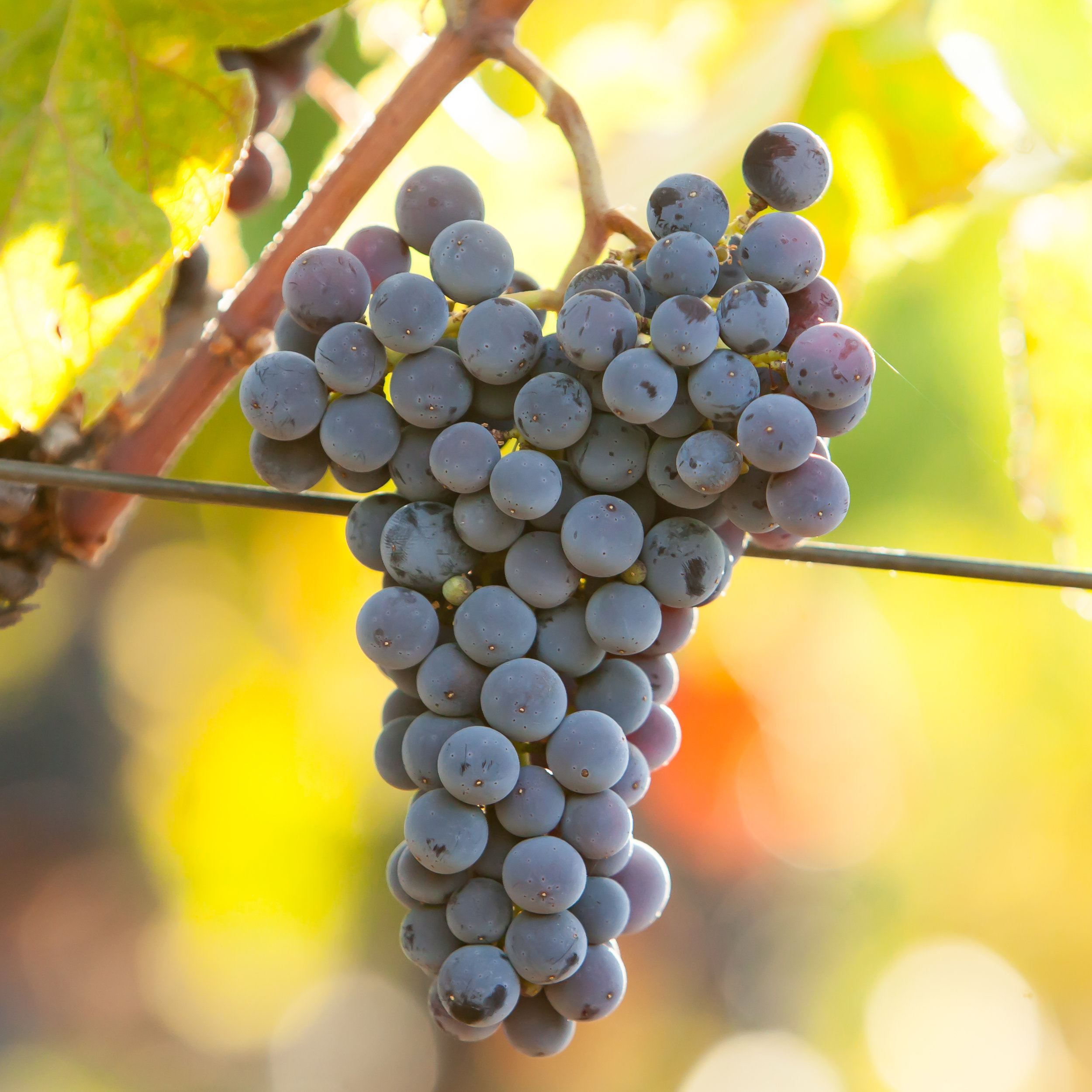 Cabernet Sauvignon - Budwood: Available2019 Grapes available: 10 tons