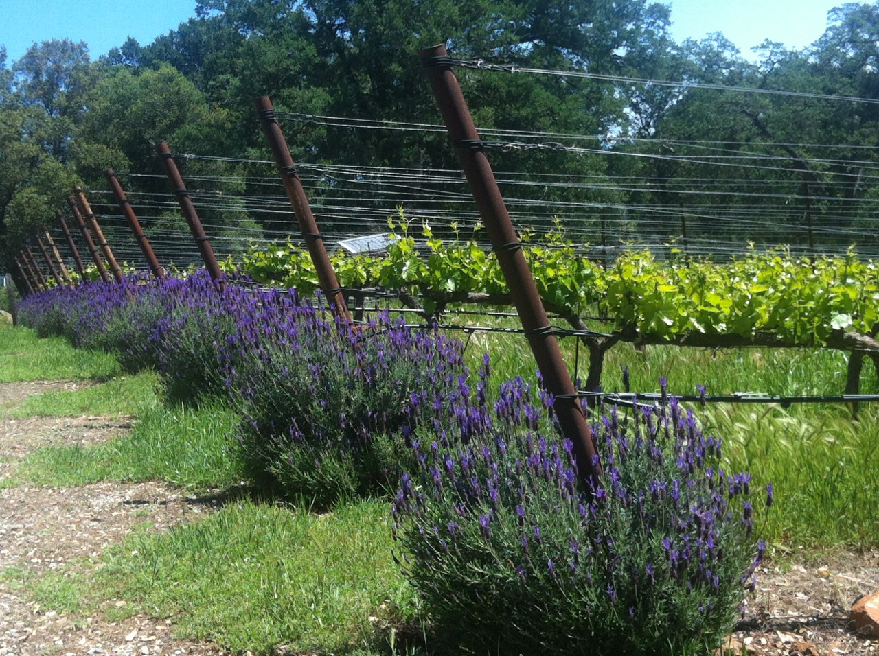 Clondaire Vineyards  - We love adding lavender to the end of each row. Its a great way to bring the pollinators into the vineyards.