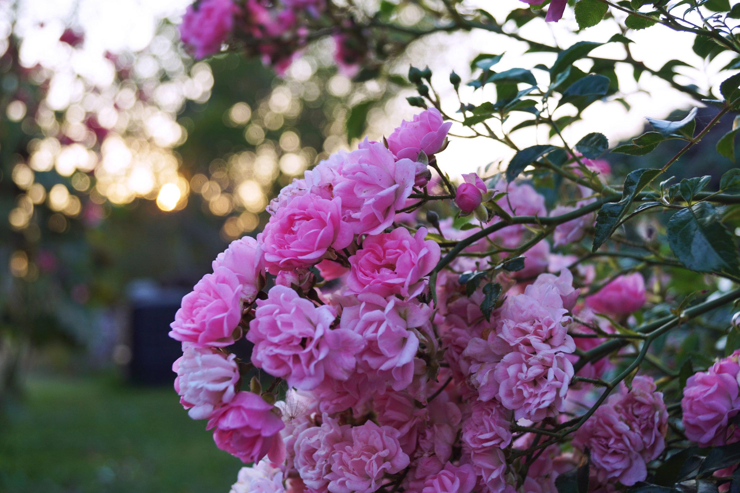 rosenbuske.jpg