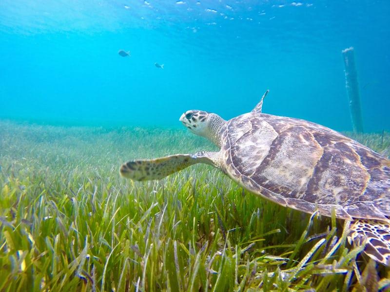 Turks and Caicos Turtle.jpeg
