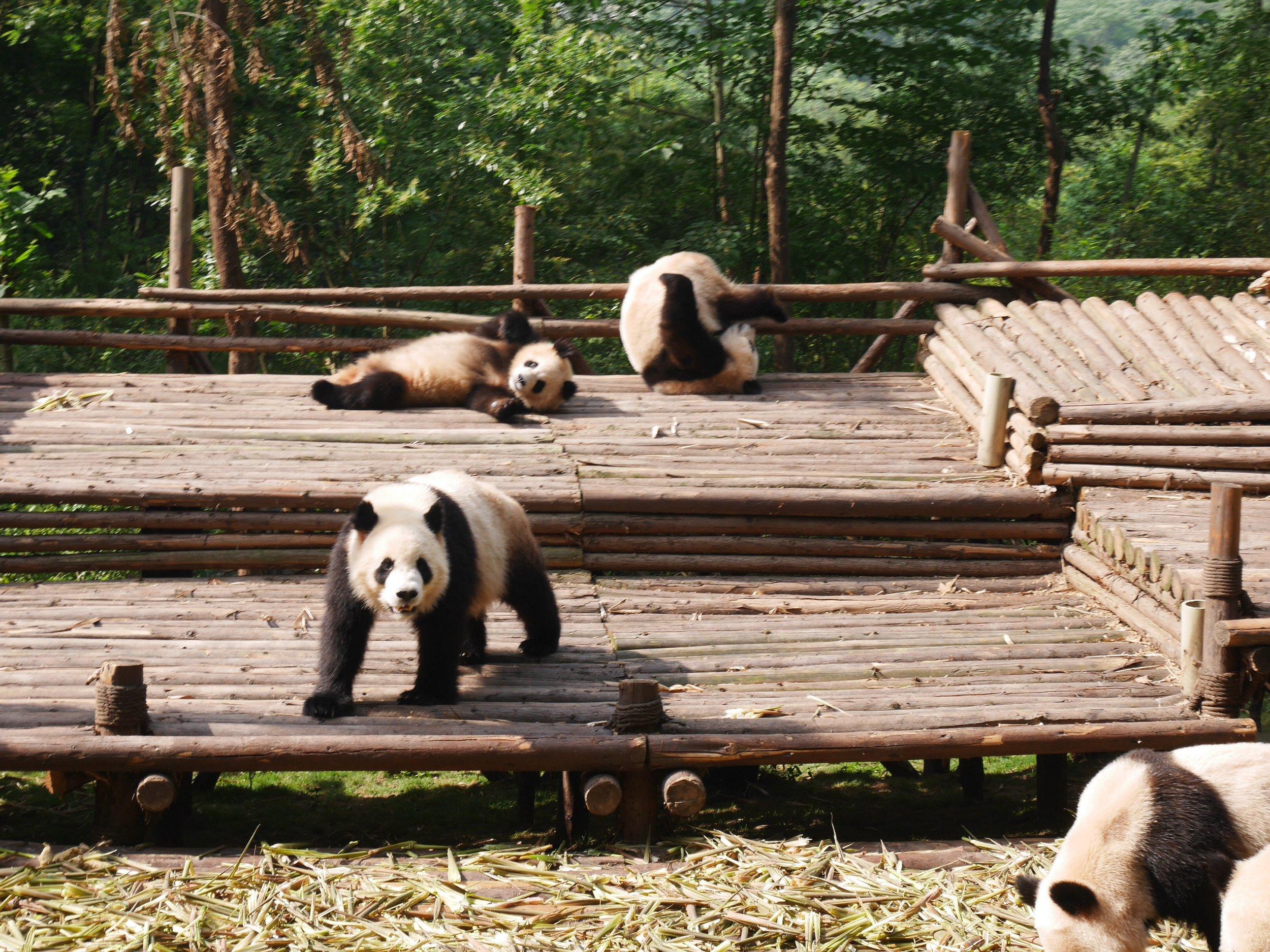 Pandas-1.jpg