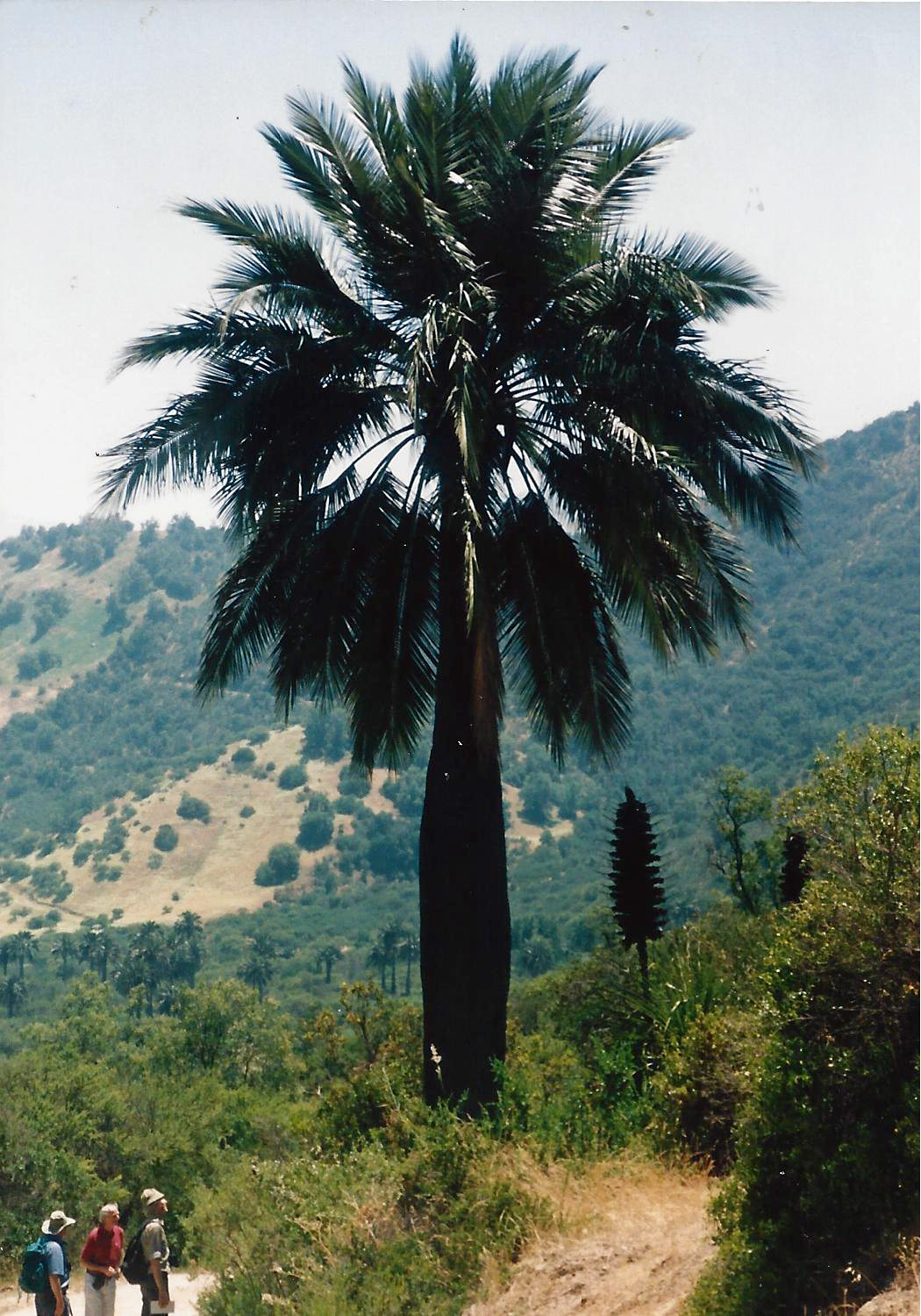 Image-12-Chile-Palm-and-Puya.-La-Campana-National-Park.-The-Wine-Palms-Jubaea-1.jpg