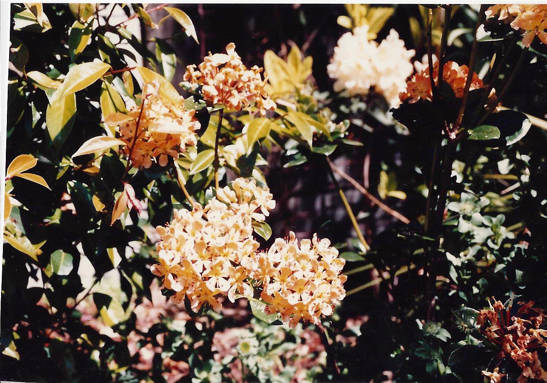 Image-5-New-Zealand-Rhododendron-macgregoriae-in-Alan-Jellymans-garden-1.jpg
