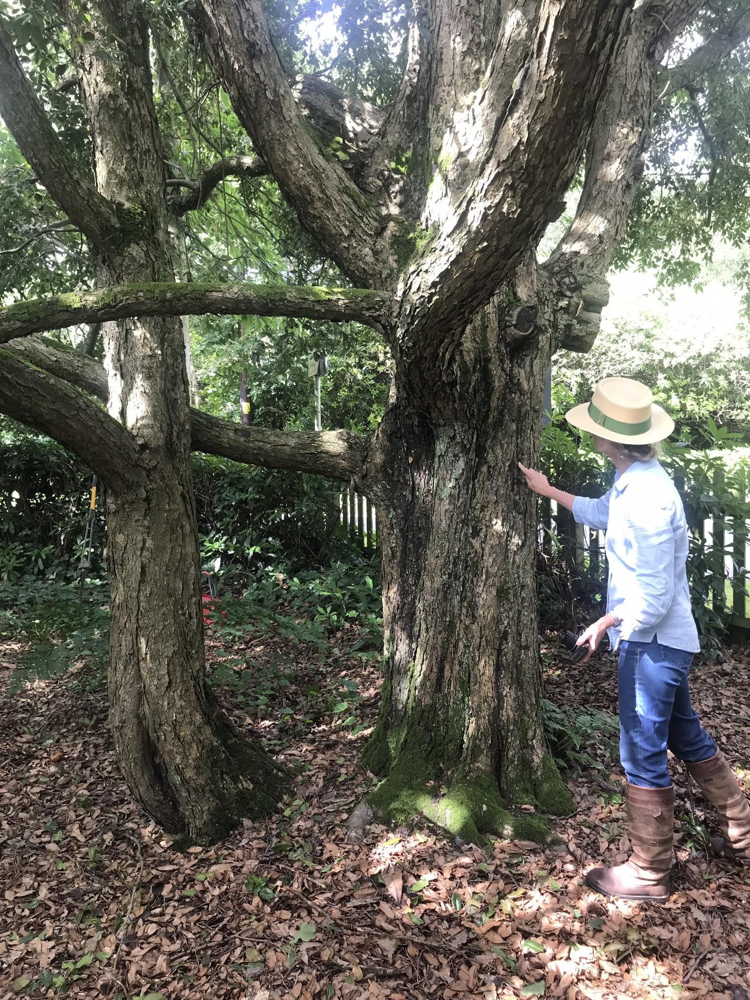 Quercus floribunda