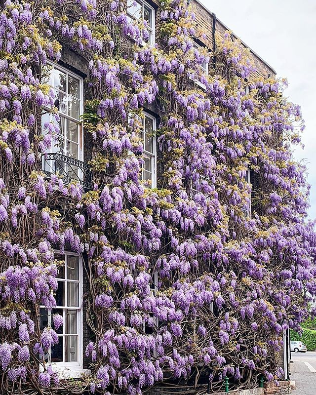 WISTERA HYSTERIA - post now on blog photo by @londonispink + + + + + #wisteriahysteria #wisteria