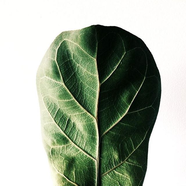 Underside of a fiddle leaf fig leaf photo by @graydar + + + + + #fiddleleaffig #figleaf #ficuslyrata