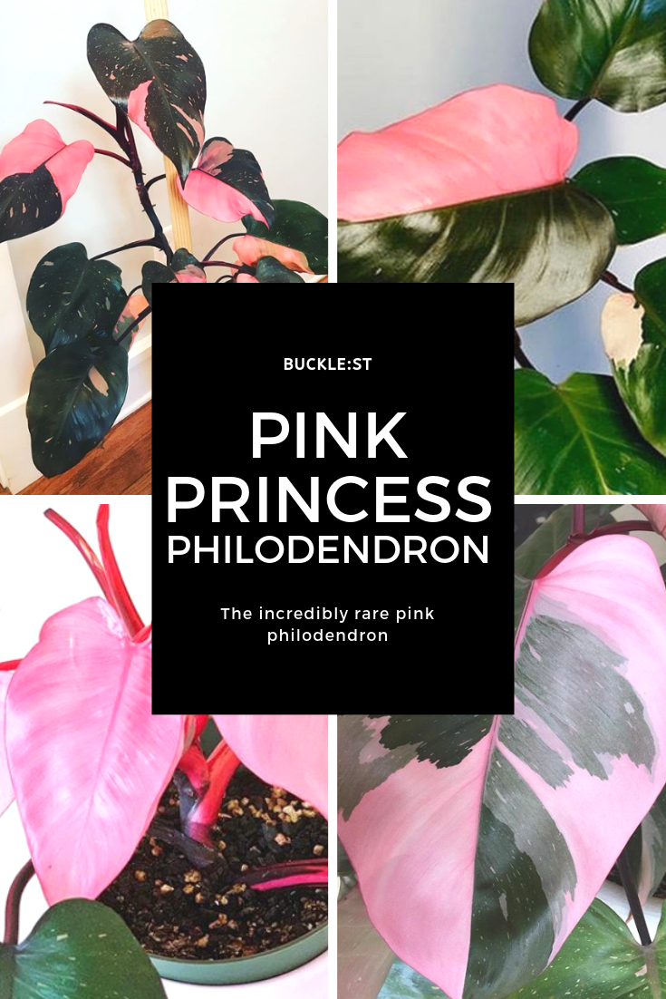 Pink Princess Philodendron (1).png