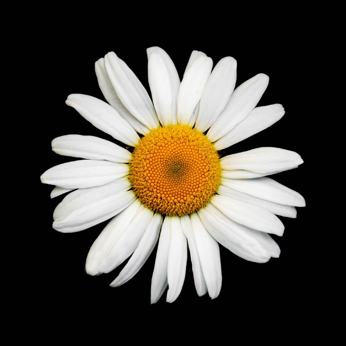 FG Floral - Daisy.jpg