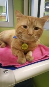 orange-cat-169x300 - Public Vet Assistance Fund.jpg
