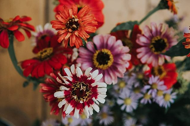 Dreaming of these gorgeous multicoloured Zinnia's today 😍🌼 #FightingSlaveryWithFloristry