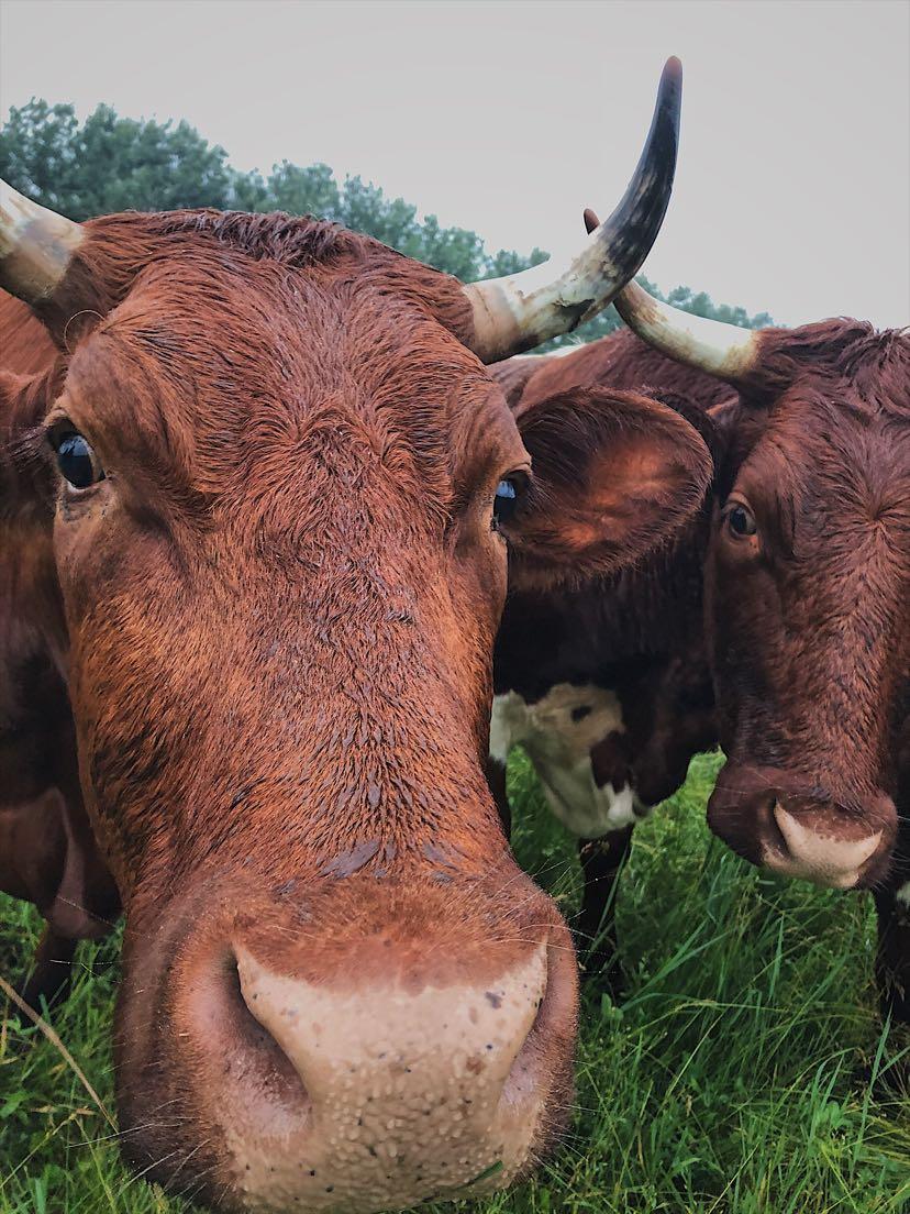 Petra Zinniker - cow1.jpg