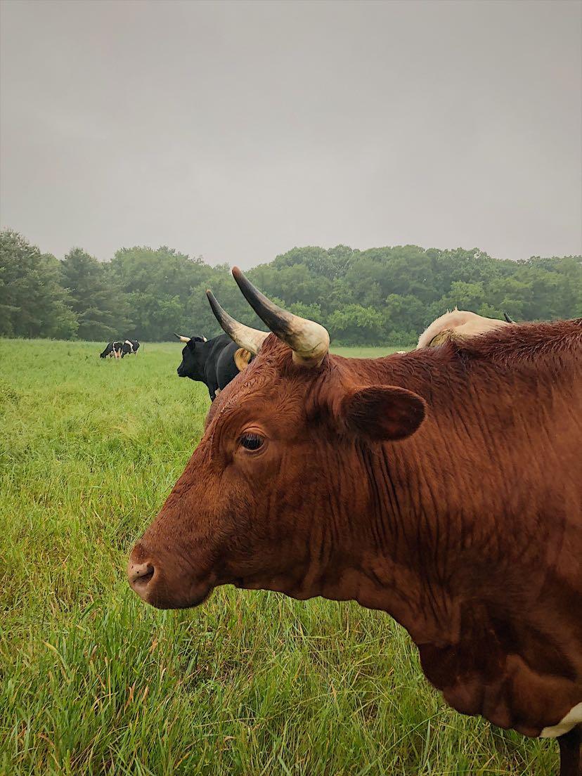 Petra Zinniker - cow3.jpg
