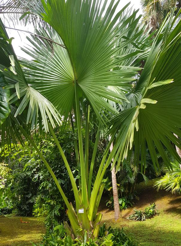 La palmeraie et ses specimens parfois trentenaires - Le Jardin de Valombreuse c'est aussi une collection exceptionnelle de palmiers tous aussi impressionnants les uns que les autres. Parmi ces perles, on trouvera d'immenses pandanus avec leur tiges supportrices, des arbres du voyageur aux formes incongrues, le fameux palmier triangle dont les palmes poussent sur trois axes… Cette incroyable biodiversité s'offre à vous dans un écrin de verdure dans lequel vous serpentez tranquillement : prenez le temps d'admirer !